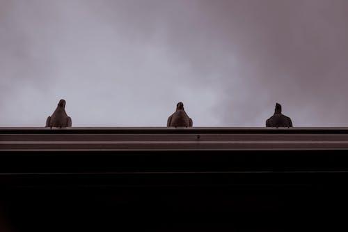 Photos gratuites de colombes
