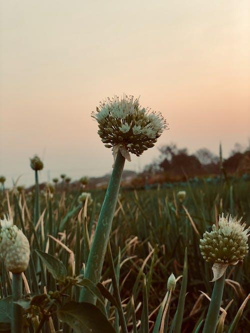 Immagine gratuita di macro, orticoltura, verde, verdura fresca