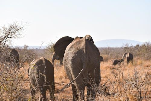 Photos gratuites de beauté naturelle, éléphant, éléphant d'afrique, éléphants