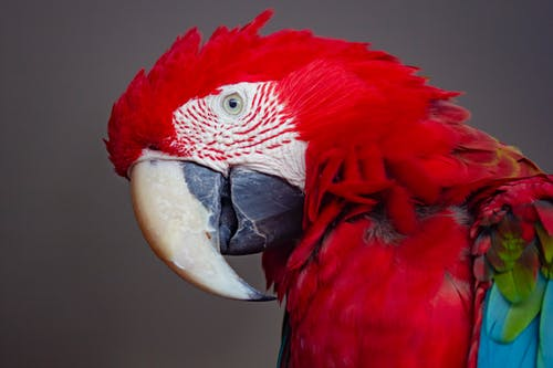Red, Blue, and Green Parrot
