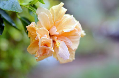 Free stock photo of beautiful flower, Hibiscus, orange flower