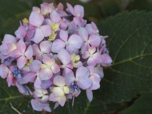 Free stock photo of hydrangea