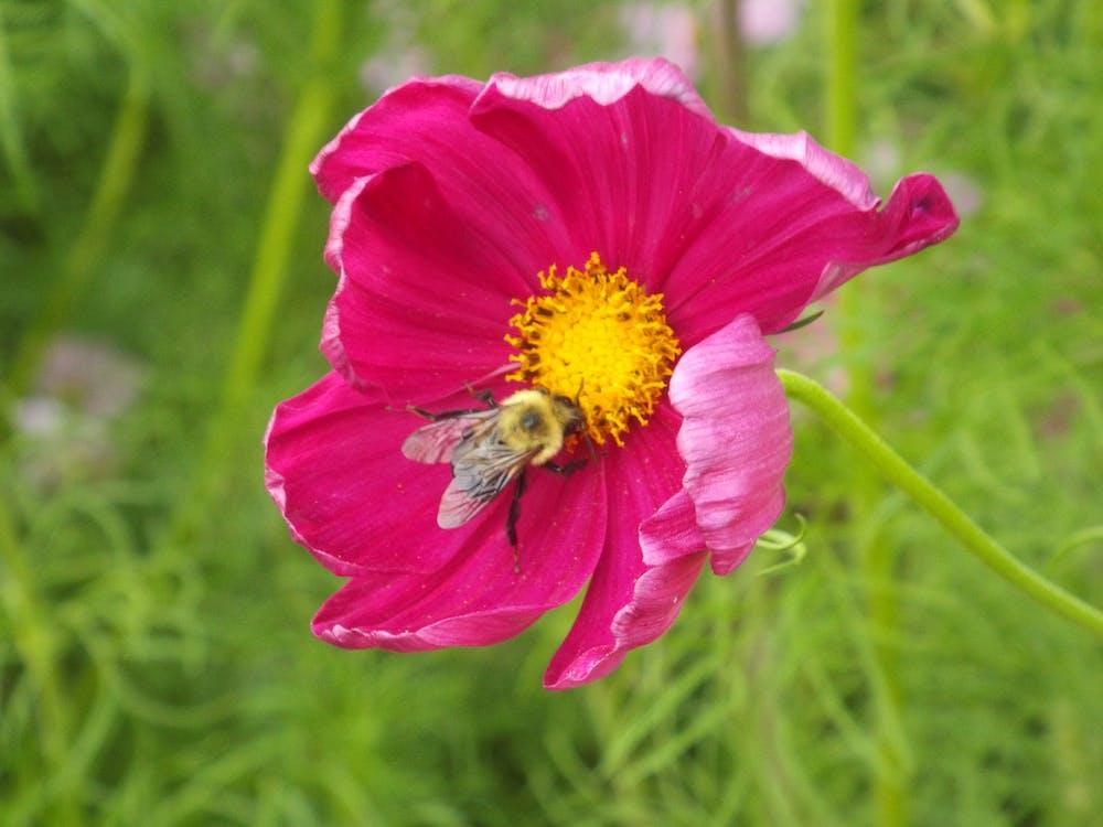 Free stock photo of bee, cosmos