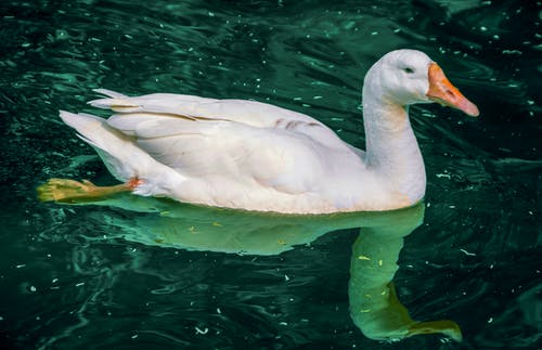 Free stock photo of animal lover, bath ducks, bird
