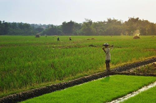 インドネシア, フィールド, 水田, 田の無料の写真素材