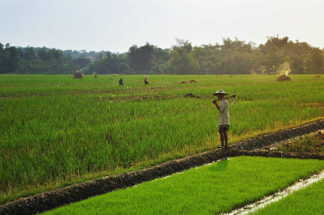 Free stock photo of farmer, field, green field