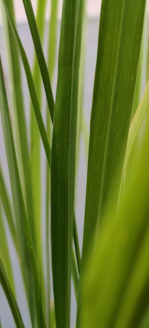 Ingyenes stockfotó citromfű, fű, gyár, levelek témában