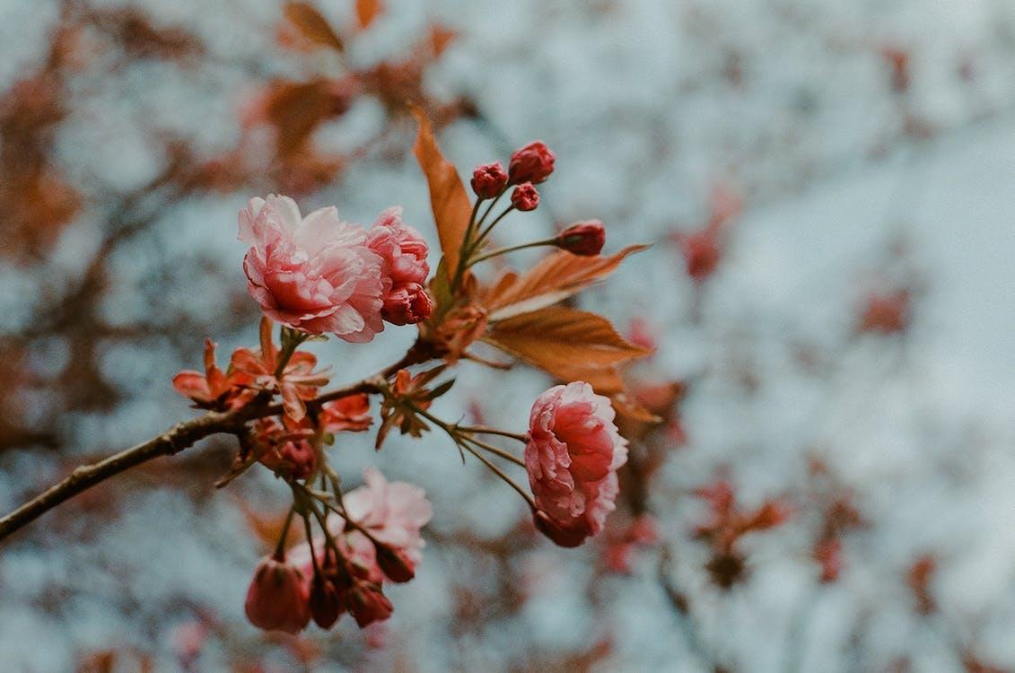 Pink-petaled Flower In Bloom