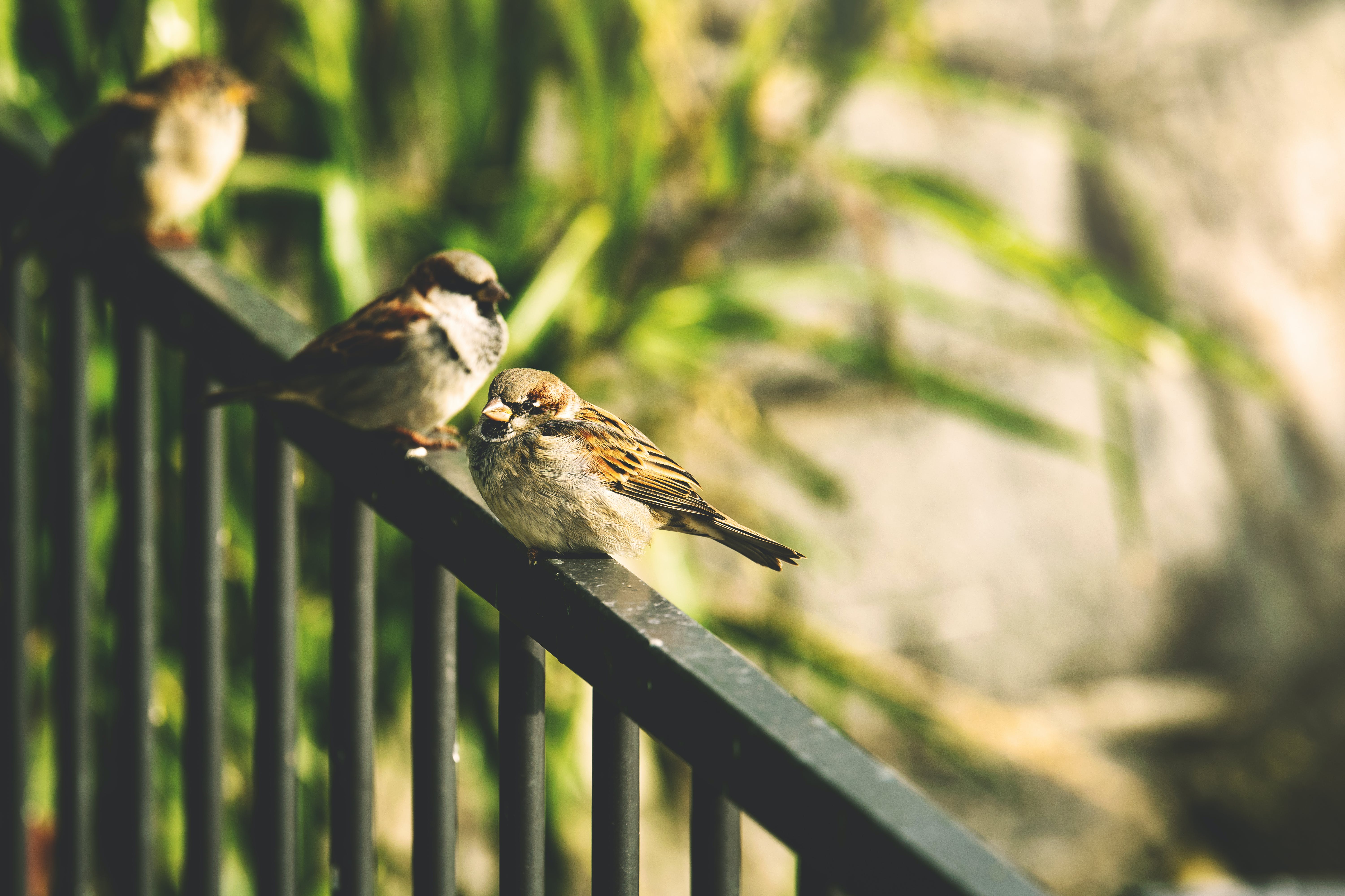 Selective Focus Photography of Two Brown Sparrows on Railings