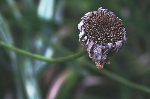 Fotos de stock gratuitas de cabeza de flor, muerto, naturaleza, otoño