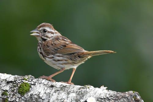 Foto stok gratis bertengger di atas birch log, bokeh, burung, lagu sparrow