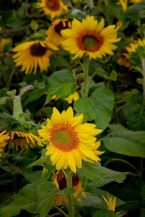 Foto d'estoc gratuïta de colorit, gira-sol, groc, paisatge