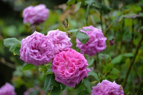 Gratis arkivbilde med belles, épanouies, fleurs, floraison