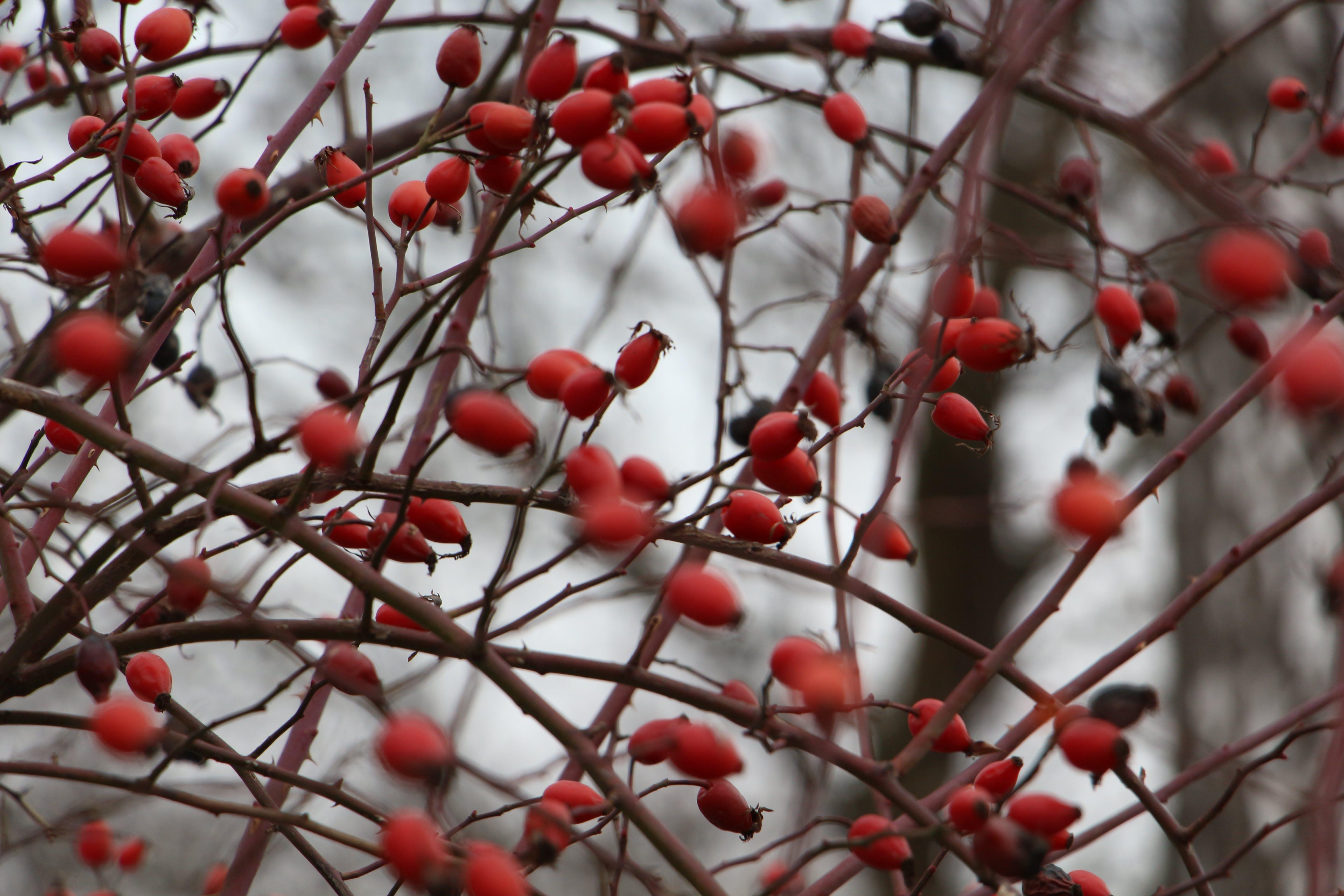 Kostenloses Stock Foto zu beeren, berberitze, busch, rot