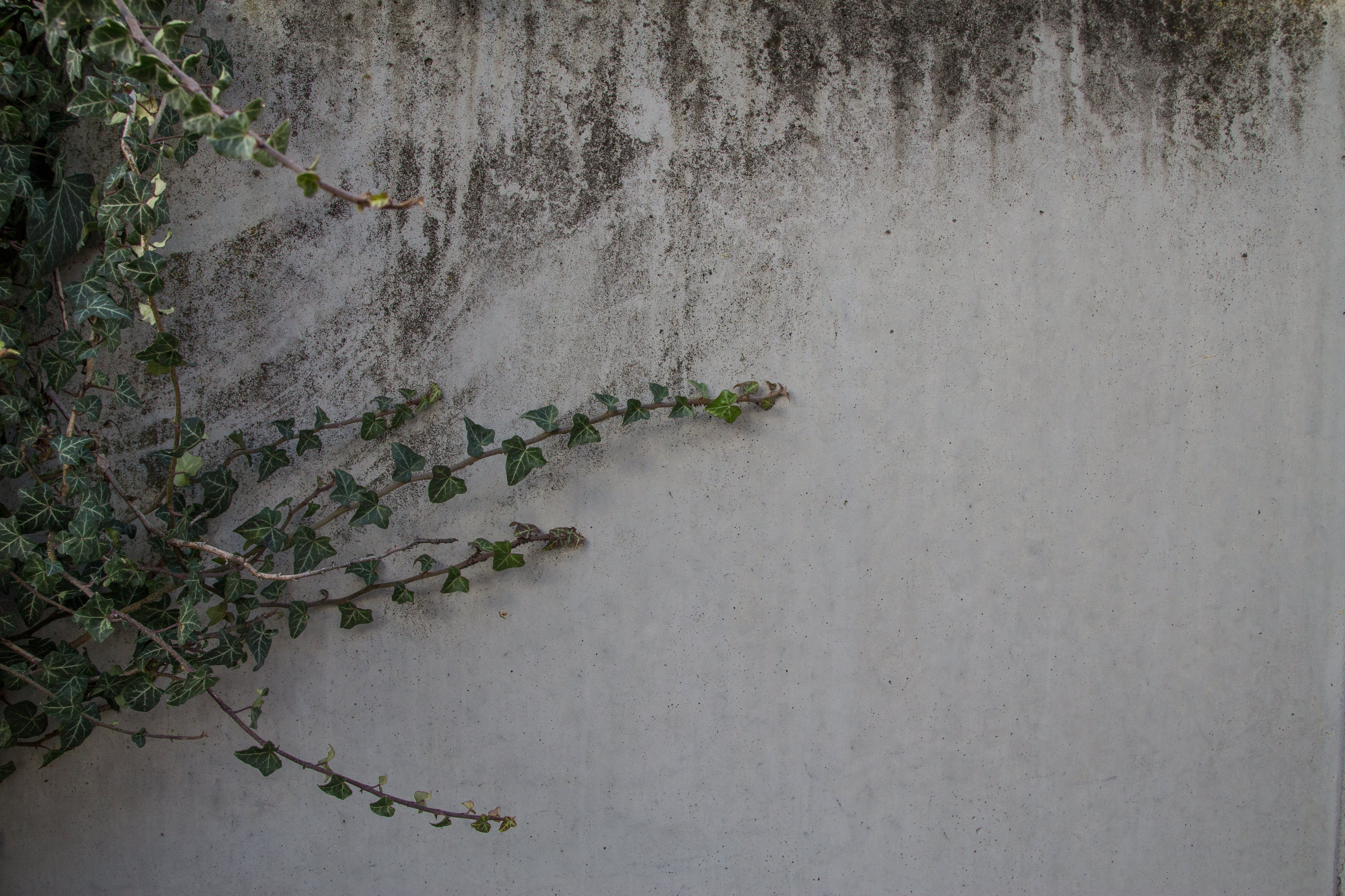Free stock photo of ivy, ivy-leaf geranium, texture, wall