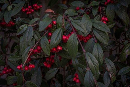 Foto stok gratis beri, buah, cabang, kebun