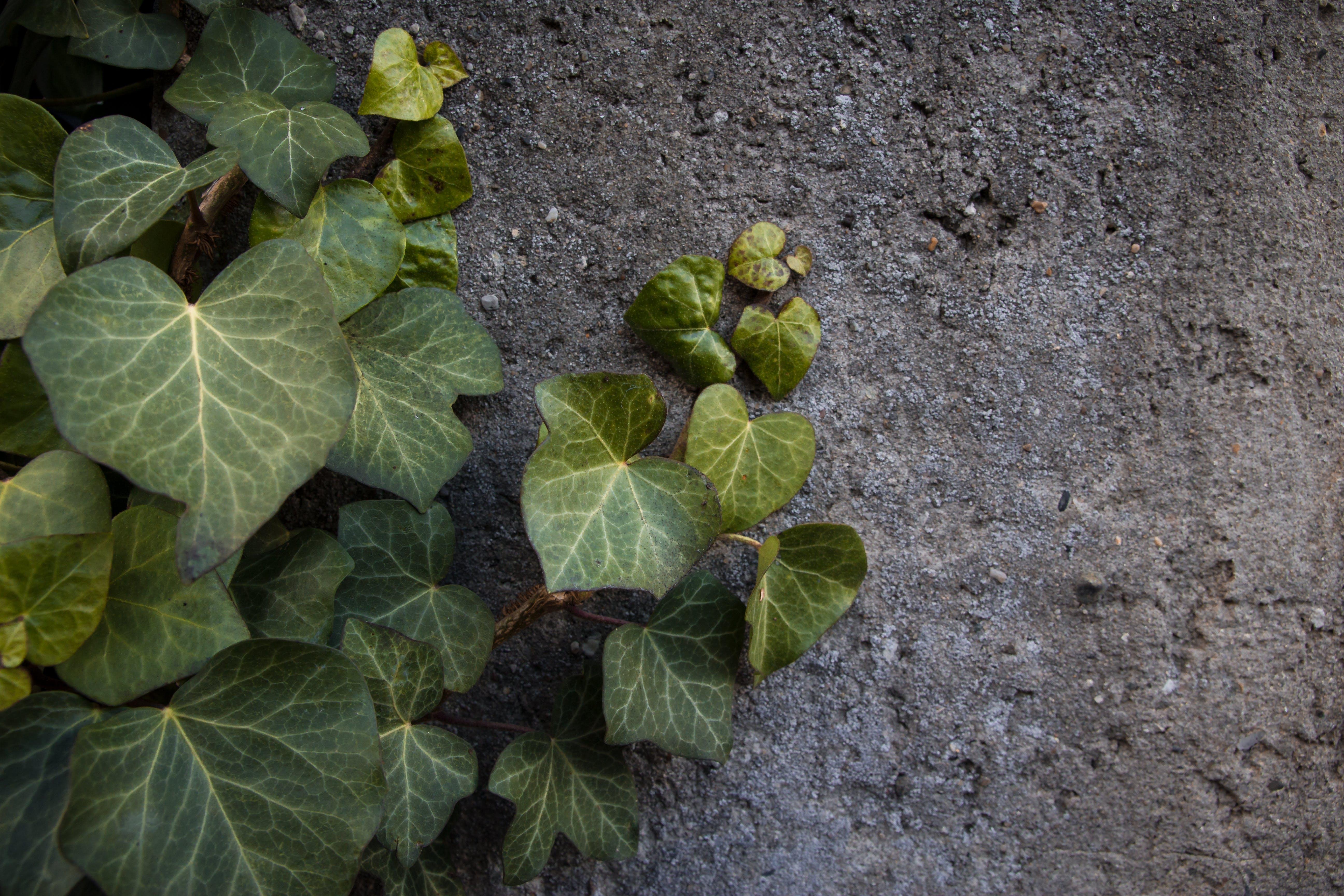 Free stock photo of dark green, grey, grey concrete, ivy