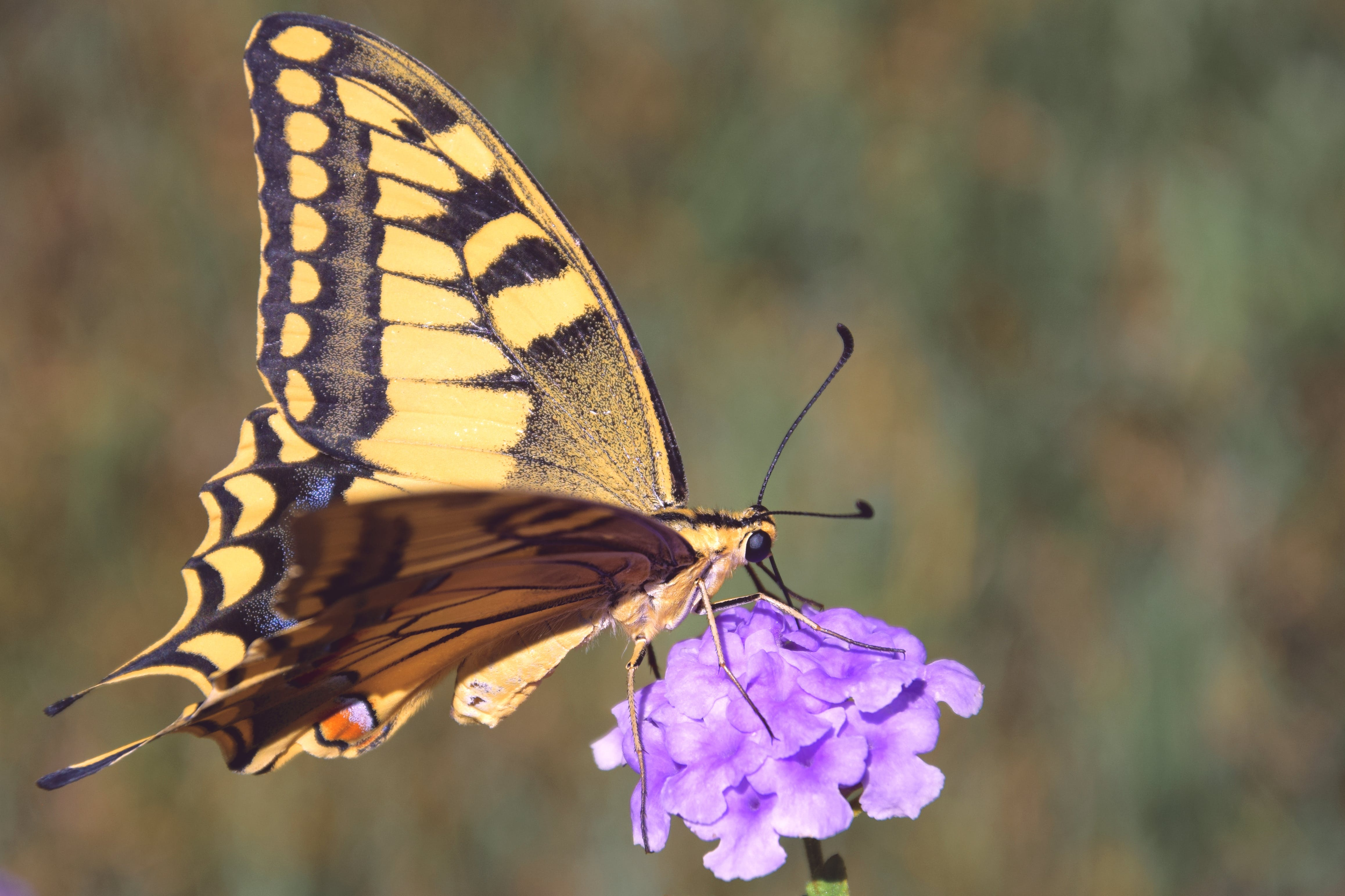 Free stock photo of black and yellow butterfly, butterfly, butterfly on a flower, colours