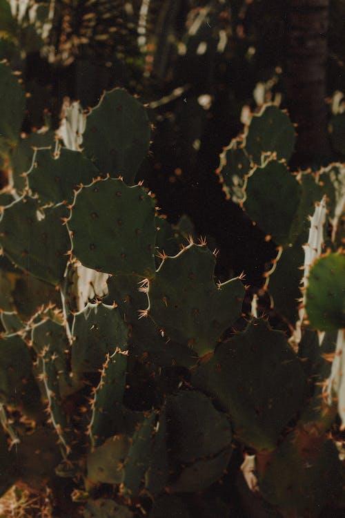 amarelo酒店, 仙人掌, 仙人掌植物, 佛得角 的 免费素材照片