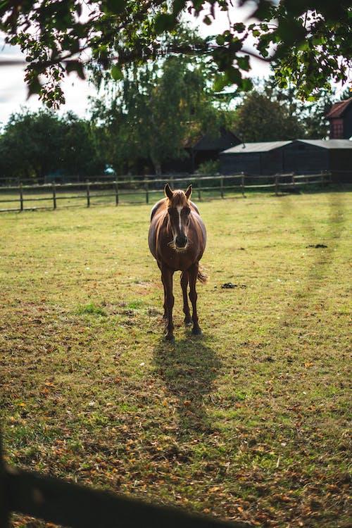 Бесплатное стоковое фото с англия, большая лошадь, бухта лошадь, всадник