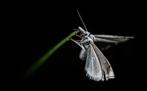 Grey Butterfly