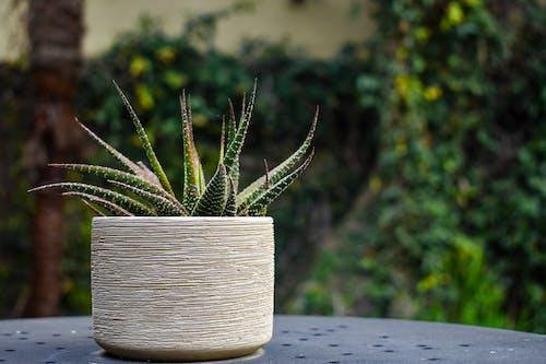 haworthia, 녹색, 다육, 다육식물의 무료 스톡 사진