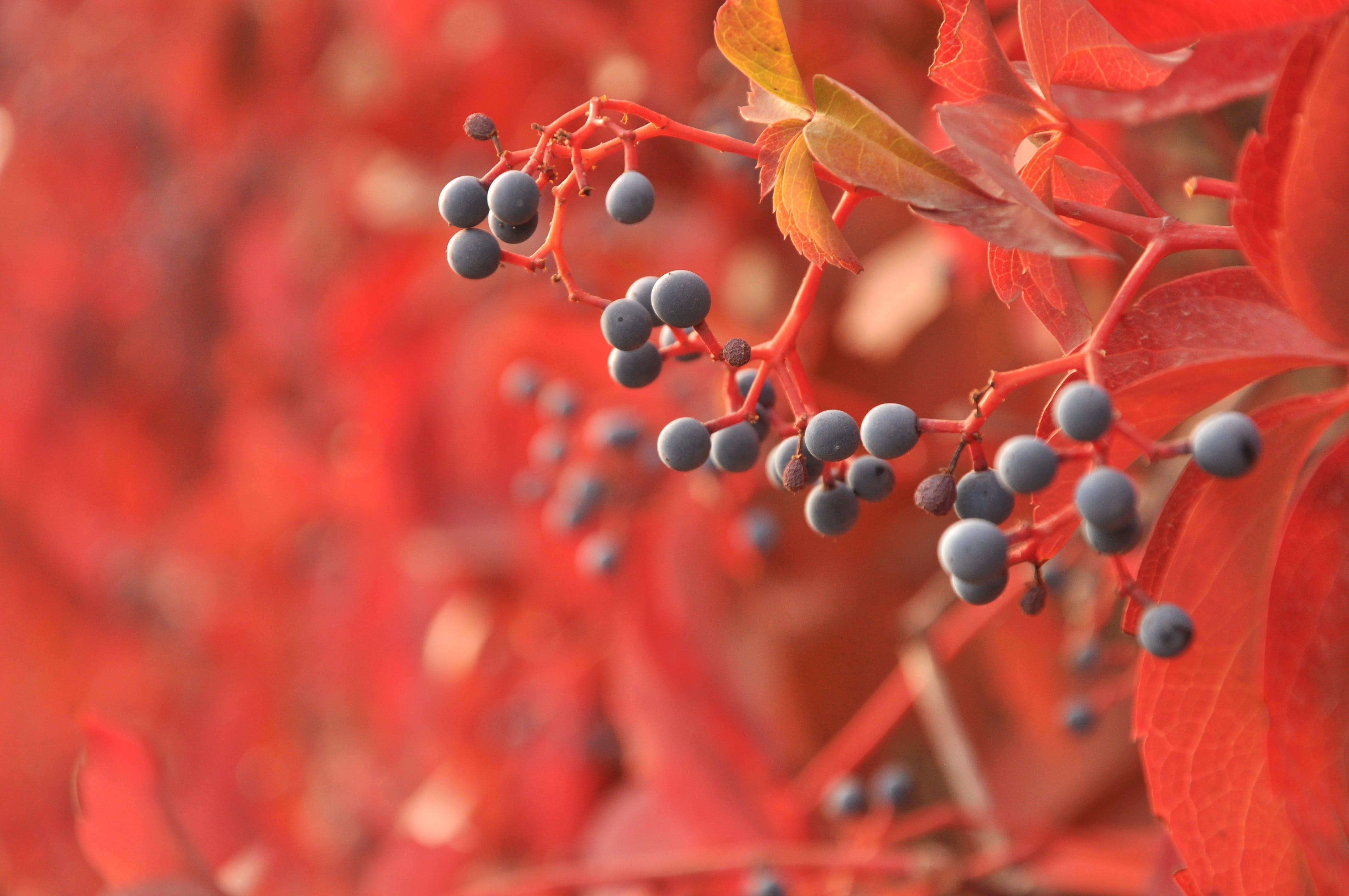 autumn, berries, blur