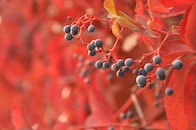 red, blur, leaves