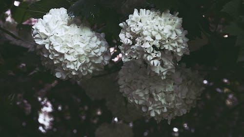 Fotos de stock gratuitas de arboles, flora, flores, Flores blancas