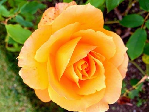 Gratis stockfoto met bloem, geel, gele roos, roos