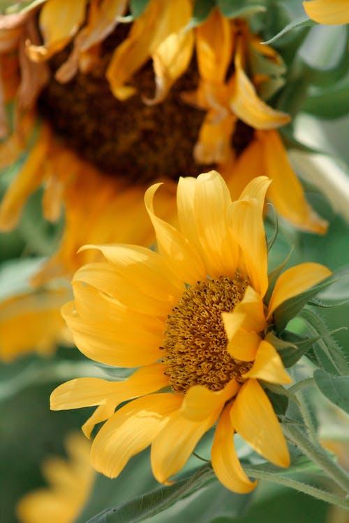 Imagine de stoc gratuită din floare, floarea-soarelui, floră, fotografie de aproape