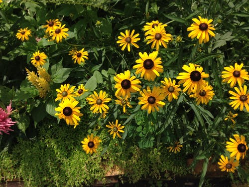 Free stock photo of Black-eyed susans