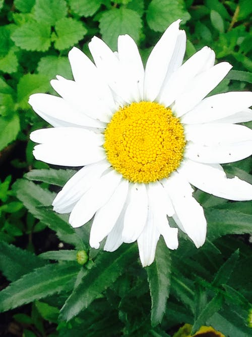 Free stock photo of daisy