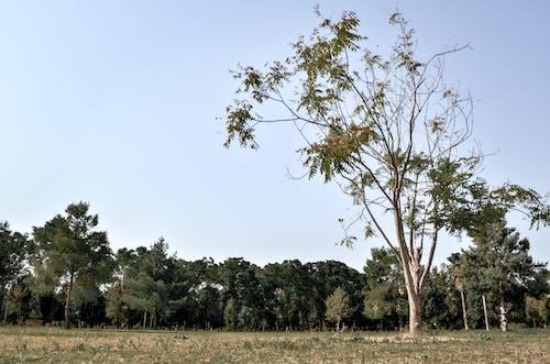 Foto d'estoc gratuïta de cel blau, الأشجار, شجرة طويلة