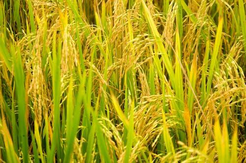 Základová fotografie zdarma na téma farma, rýže, rýžové pole