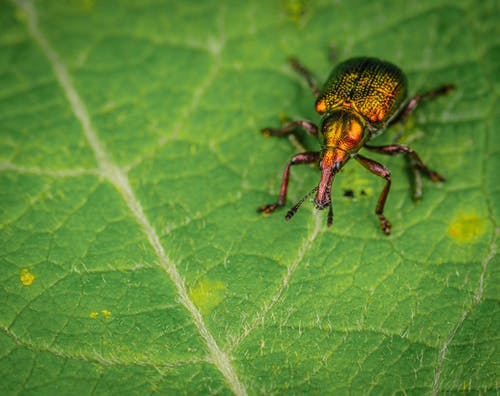 Jewel Weevil Crawling On Leaf