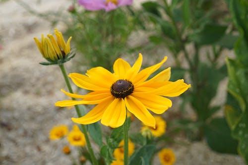 Gratis arkivbilde med botanique, chapeau du soleil, fleur, floraison
