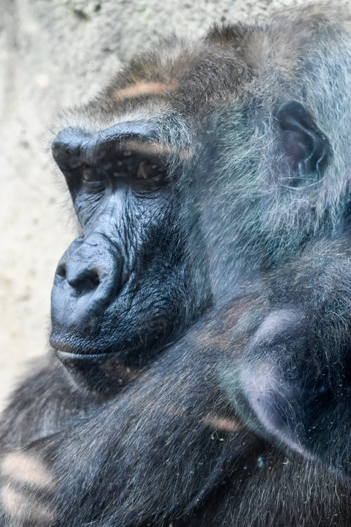 Free stock photo of animal, behind the glass, gorilla, mammal