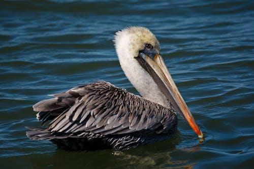 Foto d'estoc gratuïta de aigua, au, bonic, pelicà