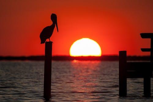 Foto d'estoc gratuïta de au, capvespre, Costa, pelicà