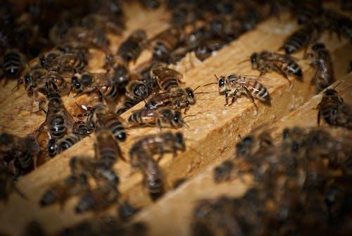 Foto d'estoc gratuïta de abella, agbiopix, insecte, mel