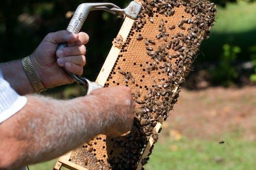 Foto d'estoc gratuïta de abella, abelles, agbiopix, apicultor