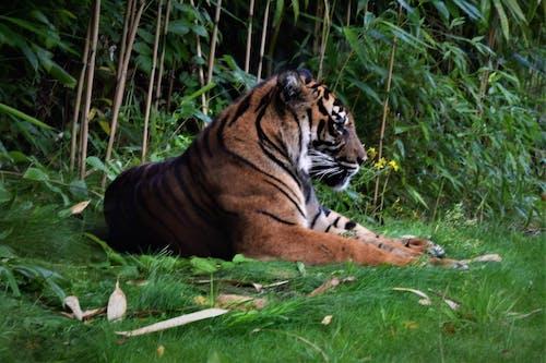 Ảnh lưu trữ miễn phí về con hổ