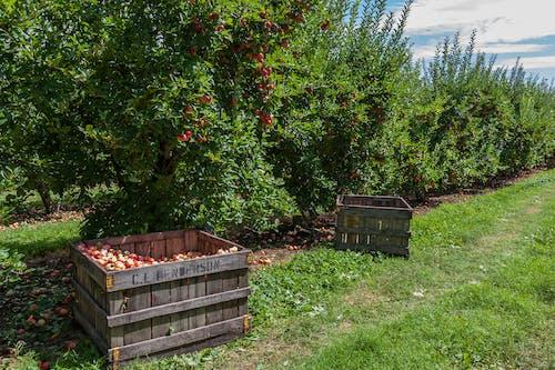 Foto d'estoc gratuïta de agbiopix, Apple, arbre, collita