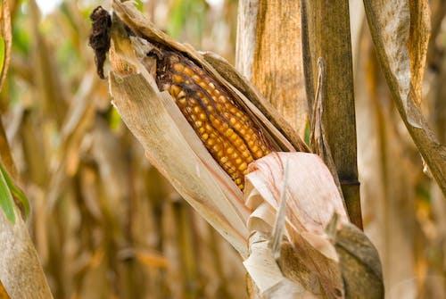 Foto d'estoc gratuïta de agbiopix, blat de moro, cultiu, dany