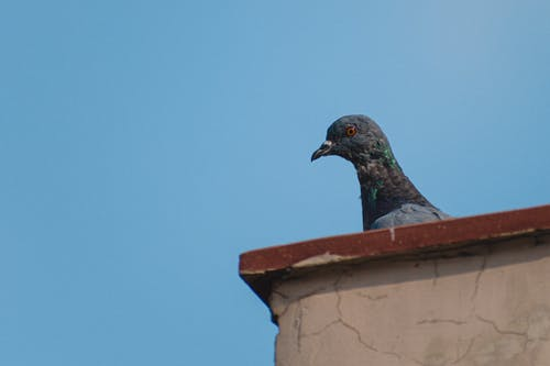 Free stock photo of bird, pigeon