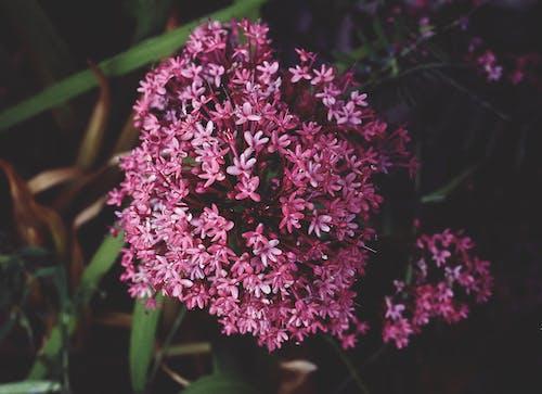 Fotos de stock gratuitas de flora, flores, Flores rosadas, jardín