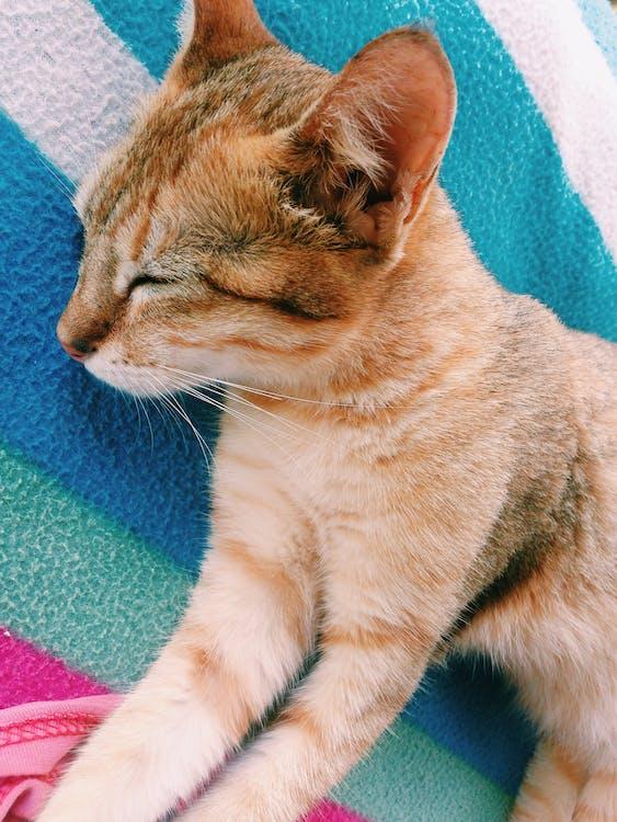 Free stock photo of cat, pet