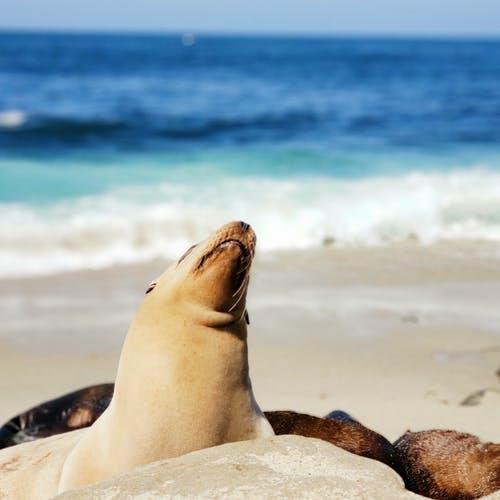 Brown Seal on Seashore