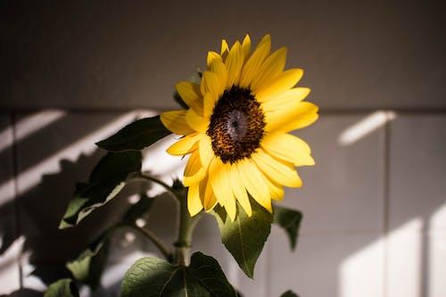 คลังภาพถ่ายฟรี ของ ดอกทานตะวัน, ดอกไม้, บ้าน, พืช